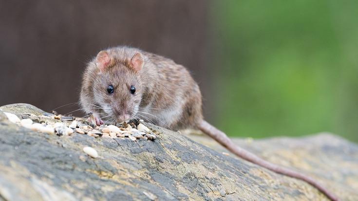 Potkan - ilustrační foto