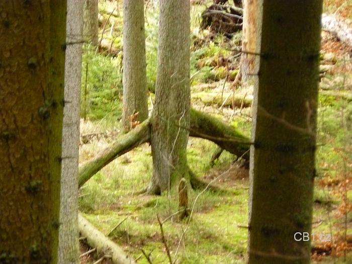Chůdový kořen